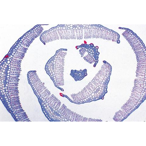 コケ類(苔綱類,蘚類),英語版