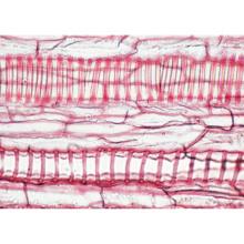 被子植物(細胞と組織),英語版