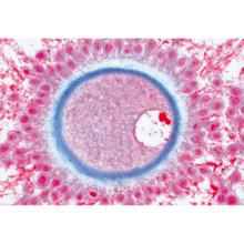 動物の細胞,英語版