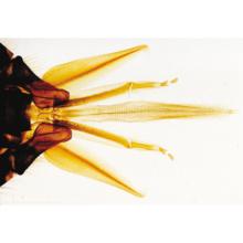 ミツバチ,英語版