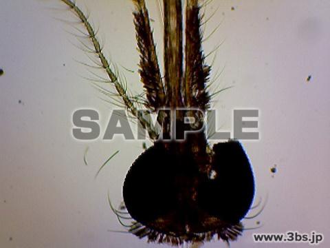 ハマダラ蚊・マラリアを介する蚊・雌の頭部と口器