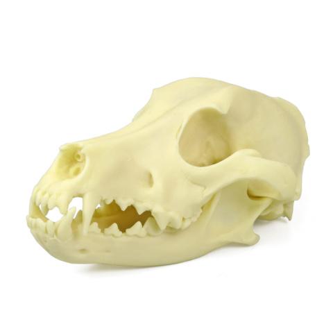 イヌの頭蓋骨模型