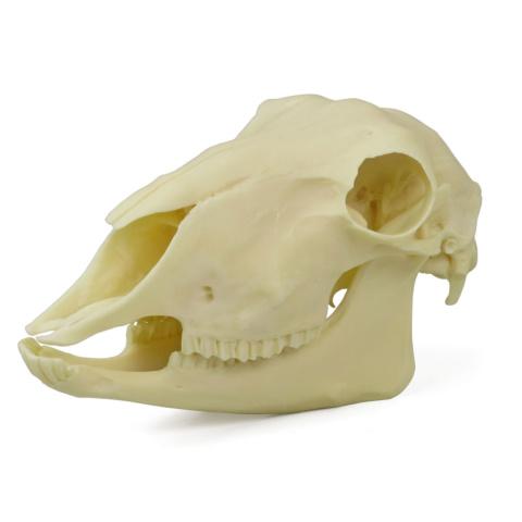 ヒツジの頭蓋骨模型