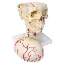 頭蓋,神経血管表示モデル