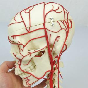 左側面:動脈