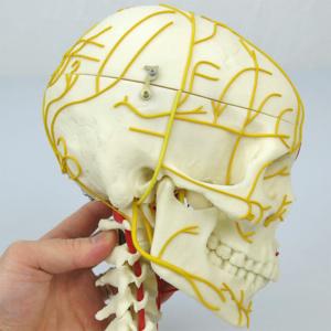 右側面:神経
