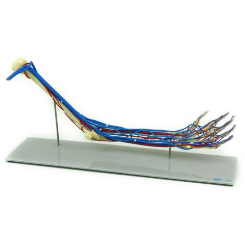 上肢血管付モデル