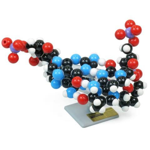 DNA分子模型組立キット・2層
