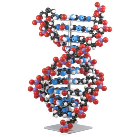DNA分子模型組立キット・10層