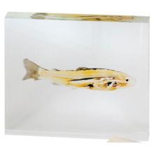 プラストミック標本:魚のスライス