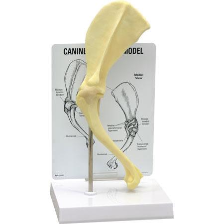 イヌの肩関節模型