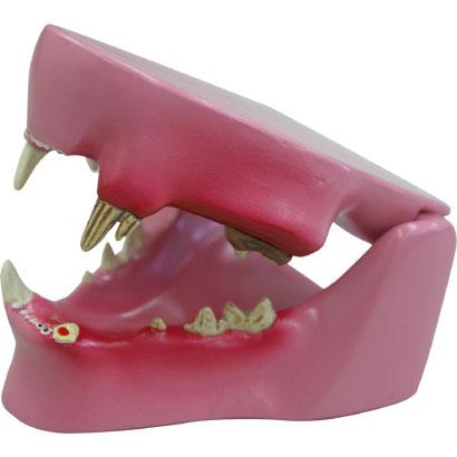 ネコの歯と歯茎の疾患模型