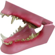 イヌの歯と歯茎の疾患模型