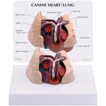 イヌの心臓,肺模型