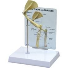ネコの肩・肘関節模型