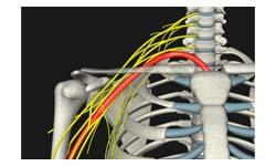 各筋の神経を色分け表示,名称も確認できます。