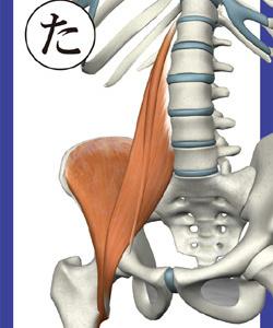 腸腰筋:表面
