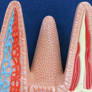 腸絨毛の断面1
