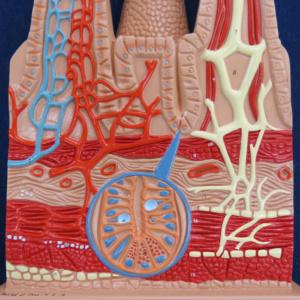 腸絨毛の断面2