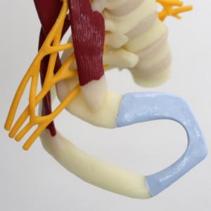 腕神経叢,肋骨