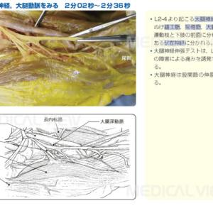大腿神経,大腿動脈