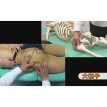 筋および受容器に対する治療的触察・刺激法 <骨盤部・下肢編>