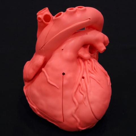 Cardio Model E.V.(赤着色)