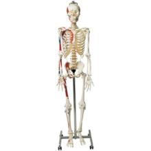彩色骨格交連複製模型,日本人男性・吊下げ式
