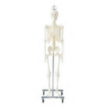 日本人男性骨格交連複製模型,吊下げ式