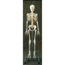 日本人女性骨格交連複製模型,吊下げ式