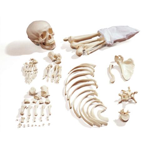 日本人男性骨格分離複製模型