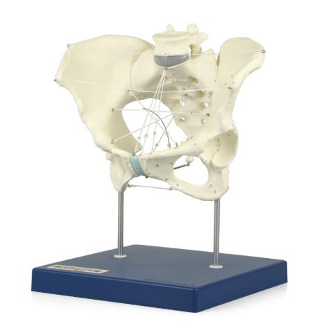 骨盤経線模型