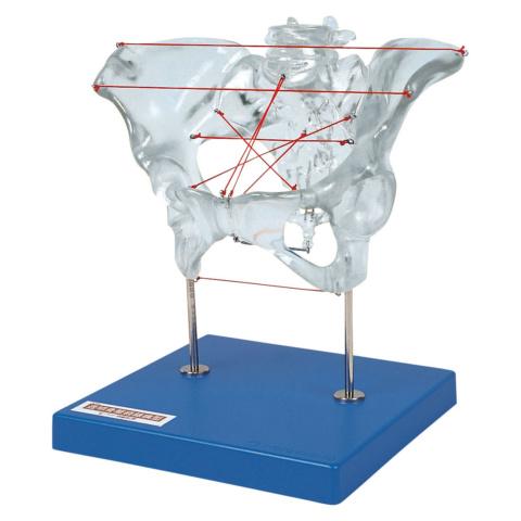 透明骨盤経線模型