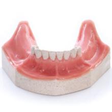 EXSURG. 口腔粘膜模型下顎