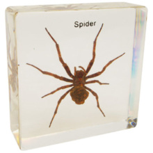 クモ 樹脂封入標本