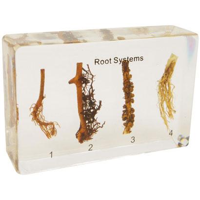 根の比較 樹脂封入標本