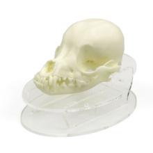 チワワ頭蓋骨模型,飾り台付き