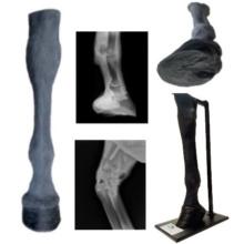ウマの前肢・触診・放射線検査練習模型