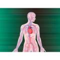 循環系II 血管、リンパ管
