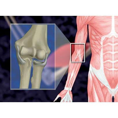 運動系II 上肢、下肢