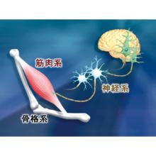 神経・骨格筋系の科学